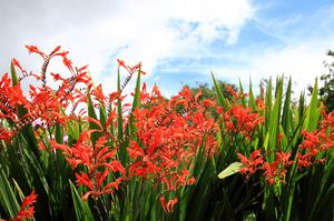 'Lucifer' Crocosmia