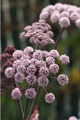 Purple Angelica  (Angelica stricta 'Purpurea' )