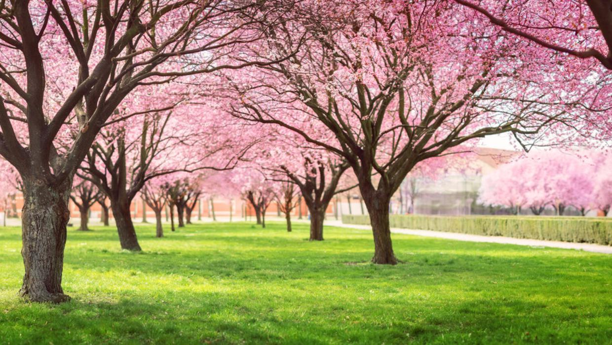 Solving The Mystery Of Two Tone Cherry Trees Independent Ie