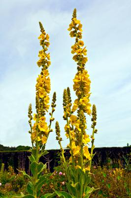EYE-CATCHING: Mullein is a wild flower that brings a splash of colour for a few weeks and delivers a feeling of freshness to any garden