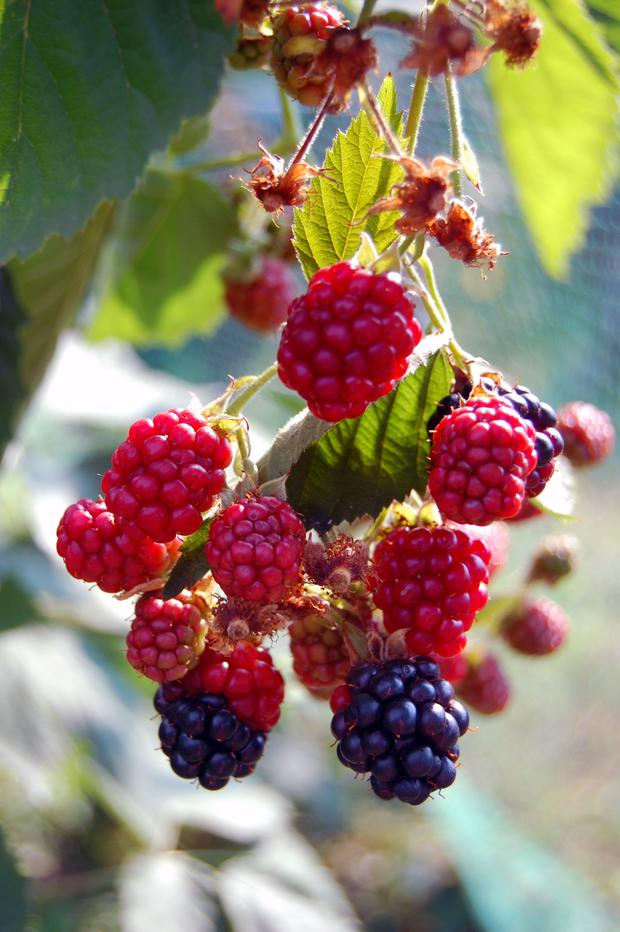 Super fruits: Why not grow berries this year?