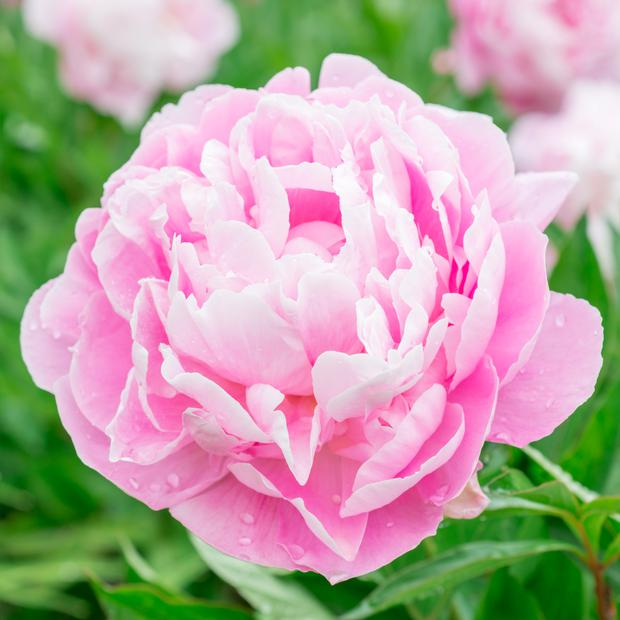 Gardening With Diarmuid Gavin The Peony Rose Is A Hardy And Long