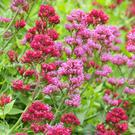 Red valerian comes from the Med but grows well in Irish coastal areas