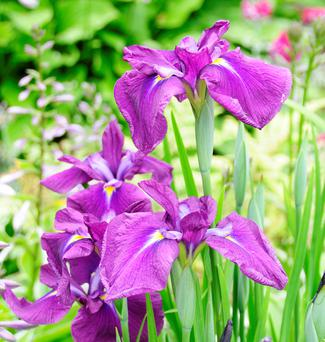 Japanese water iris rises to about 90cm and has spectacular flowers