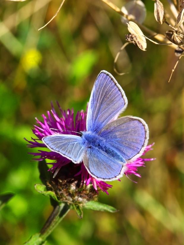 Delightful: Common Blue Butterfly (polyommatus Icarus)