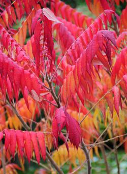 Stagshorn sumach provides wonderful autumn colour