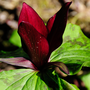Purple trillium, a North American plant, likes woodland and scrubby areas