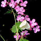 Lunaria annua is a pretty, old-fashioned flower