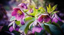 Hellebore Lenten Rose - bring a new flowering plant with you to your new home