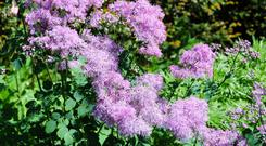 Meadow rue is an excellent addition to the garden