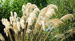Tall and lovely, pampas grass can create a clump up to three metres in height