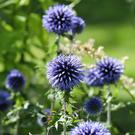Globe thistle's botanical name comes from echinos, or hedgehog, and it's easy to see why