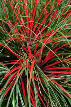 Late-blooming Fascicularia pitcairniifolia is a member of the hardy pineapple family