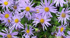 Mildew-proof and long-lasting, Aster 'Monch' is one of the Michaelmas daisy family.