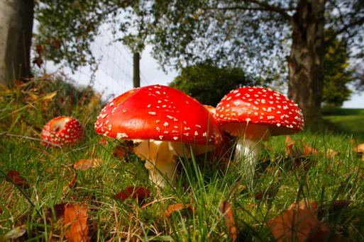 The very picture of a fairy toadstool, fly agaric is associated with birch trees