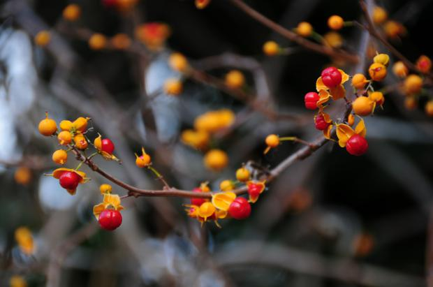 The bittersweet vine has decorative leaves that suddenly fall to reveal bright berries