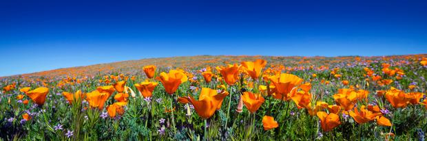 A single sowing of California poppy has been known to self-sow for over 20 years.