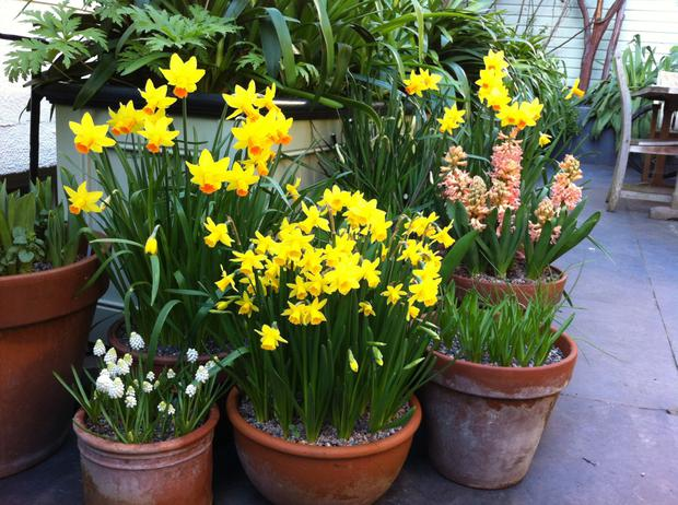 Place your large pots of tall bulbs at the back and move small pots of miniature bulbs to the front