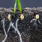 A grain seed sprouting and setting down roots. So much depends on what type of soil is in your garden