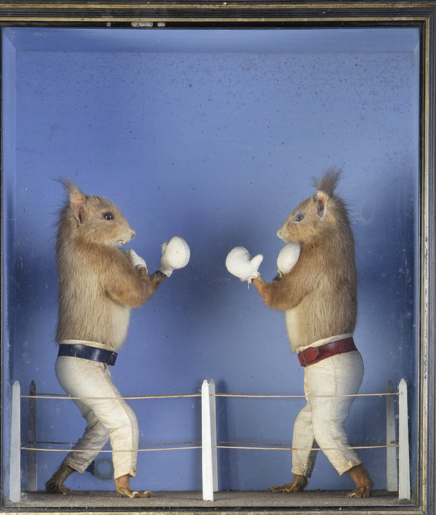 Gloves up: Belfast squirrels by Sheals take to the ring and abide by the Queensbury rules