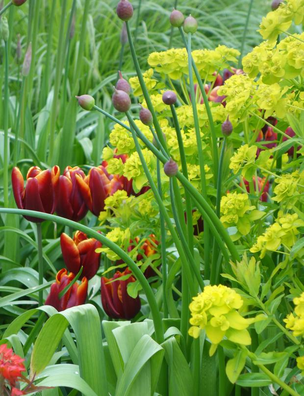 Euphorbias: The sharp yellow-green is a perfect complement to spring flowers, bringing them alive.