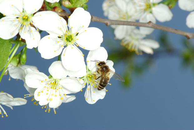 The pollen of fruit trees is too heavy and sticky to blow on the wind and so it is carried by pollen-feeding insects such as bees. These need good weather, reasonably warm and not too windy, to be able to fly
