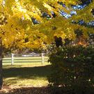 Ginkgo give a superb show of autumn colour on a relatively slow-growing tree of medium size