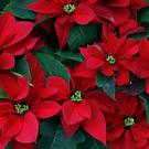 Poinsettia that have been standing outdoors in the cold often lose their leaves when brought indoors