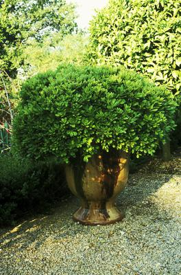Japanese pittosporum  (Pittosporum tobira Nunum)