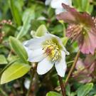 'Hellebore's white and purple flowers will brighten your garden right through the early weeks of the new year'
