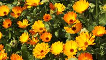 Marigolds - tonnes of colourful flowers