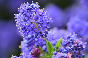Now is a good time to take cuttings from ceanothus