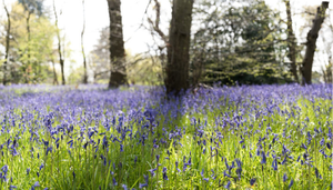 'There is no comparison between a floor with sheets of bluebells, wood anemones or ferns, the ground cleared of rough branch debris, and a messy woodland floor of briars, nettles and decaying fallen trees and branches.'