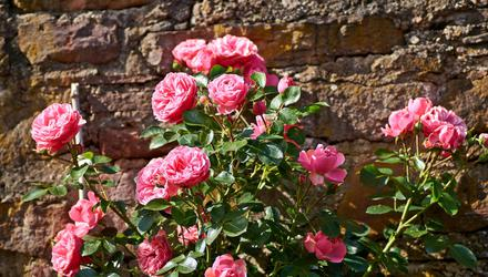 Deadheading roses is just one of the jobs gardeners can do for a late-August display