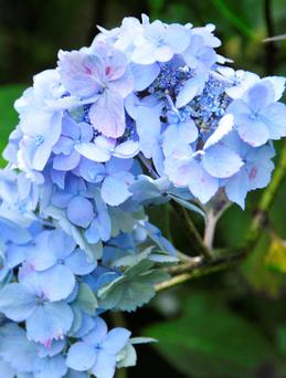 Blue or pink? Hydrangeas are able to indicate soil type.