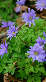 CHEERY FLOWER: The Greek anemones