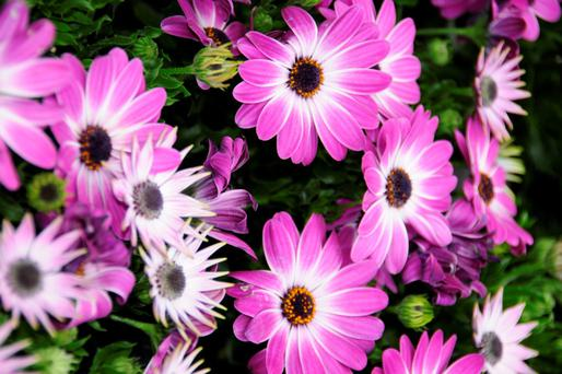 The African Daisy