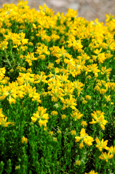 SUN WORSHIPPER: Bright yellow flowers cover the bush