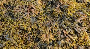 Seaweed can be used as garden feed