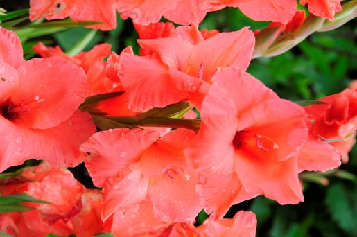 STUNNING: Large flowers of gladiolus in August