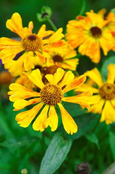 BEAUTIFUL: Red-flushed yellow helenium flowers