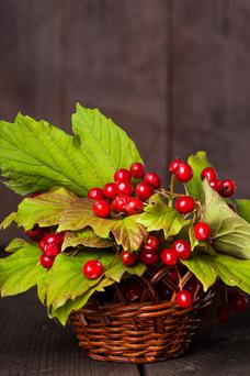 The berries of the Guelder rose