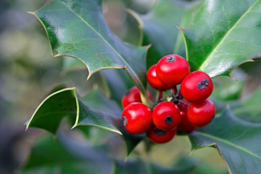 Holly can grow in sun or shade.