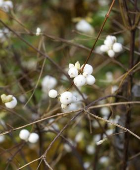 Symphoricarpos albus (common snowberry) branches with berries