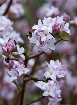 The Himalayan daphne flowering in mid-winter
