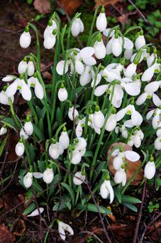 BLOOMING: There are varieties of snowdrop that flower every year as early as October