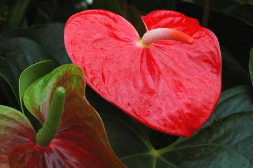 House plant favourite Anthurium is resilient and puts on a glorious show