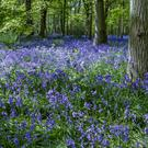 Bluebells can thrive in shaded areas