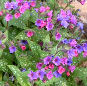 Pulmonaria puts on a brilliant colour show from early spring onwards