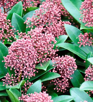 Skimmia carry clusters of bright red berries Photo: Gerry Daly
